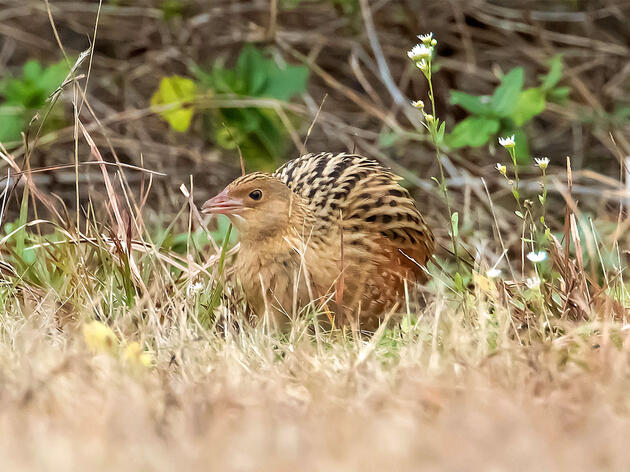 Birders Drop Everything to Behold Rare Corn Crake That Turned Up in New York