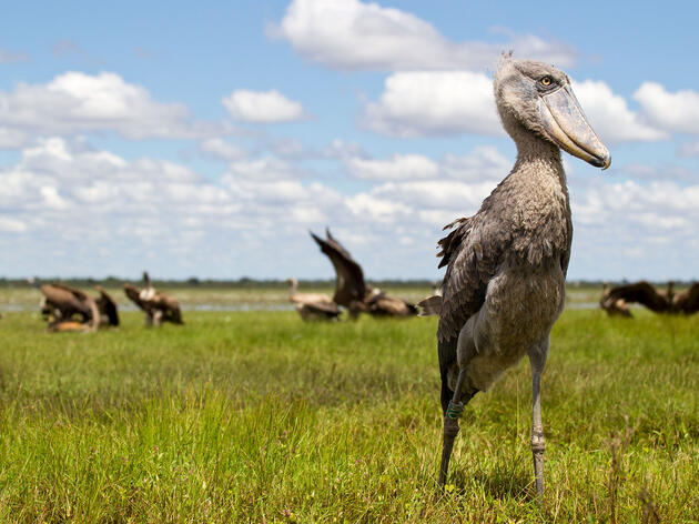 From Canoes, Fishermen Guard Africa's Famous Shoebills Against Poachers
