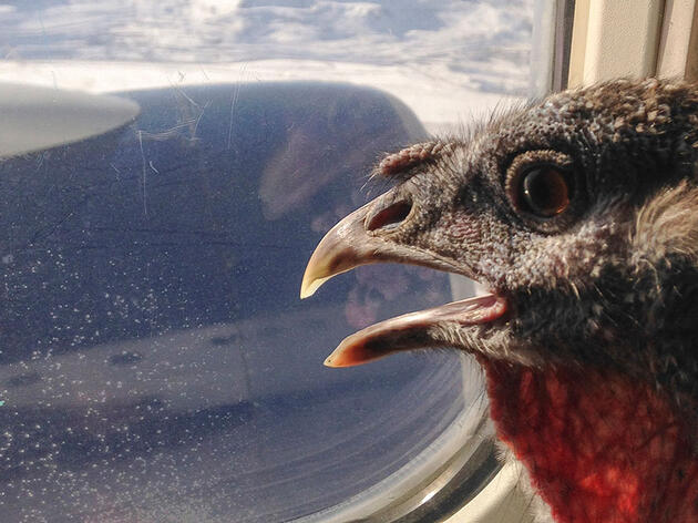 Why Turkeys And Other Birds Make Great Therapy Animals