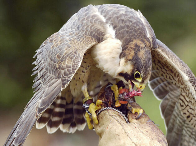 Falcons Fighting Berry Crime