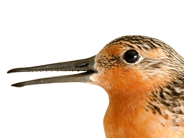 Rufa Red Knot Gets Listed