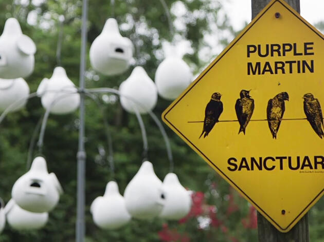Where Have All the Purple Martins Gone?