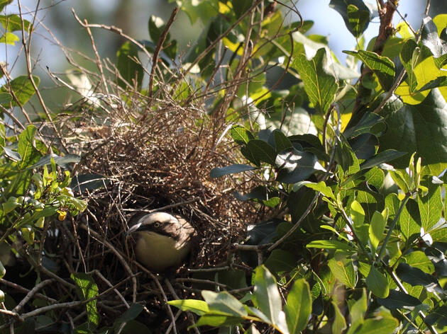 This Week in Ornithology: Domed Nests, Flaky Prairie-Chickens, and More