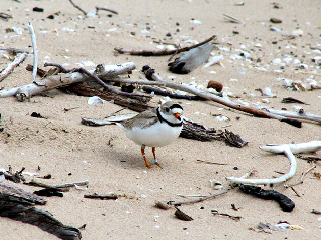Piping Plover Protection Pays Off in New York