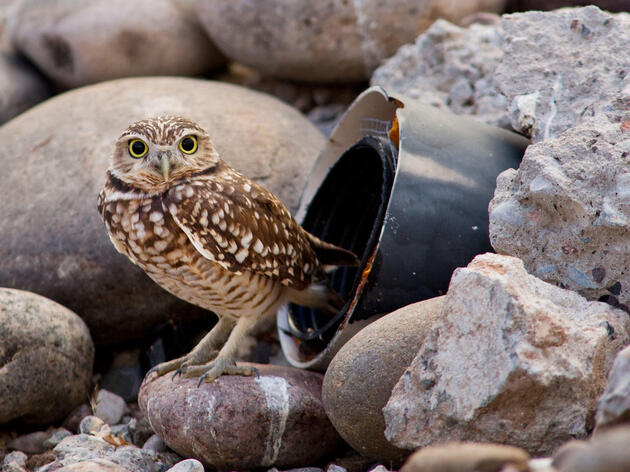 How a Former Phoenix Landfill Became Home for Displaced Burrowing Owls