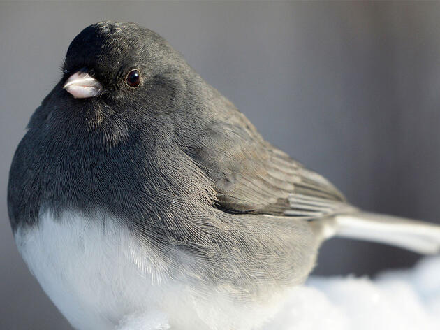 Juncos Are the Original Snowbirds
