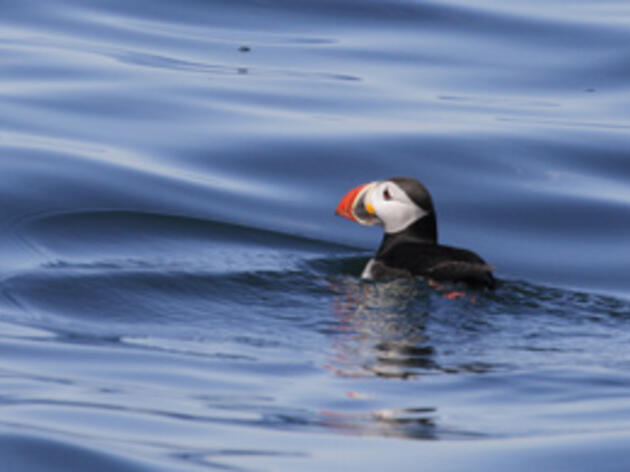Good News for Puffins in the Northeast