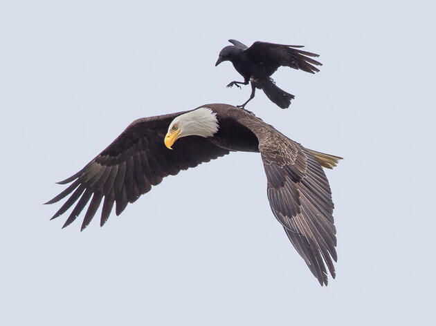 Why Would A Crow Ride an Eagle?