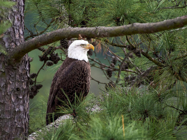 The Bald Eagle and the Endangered Species Act—an American Success Story