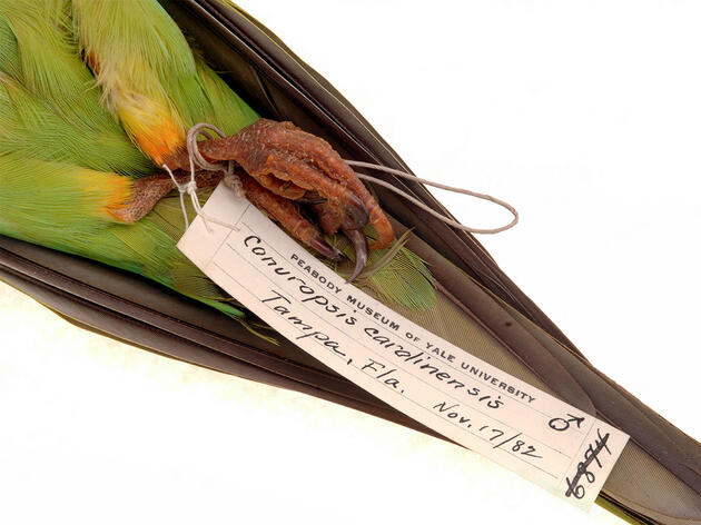 Humans Drove the Only Native U.S. Parrot Extinct, Says New DNA Study