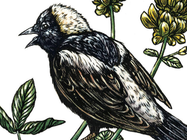 Listen to the Bubbly Jangling of a Bobolink's Song