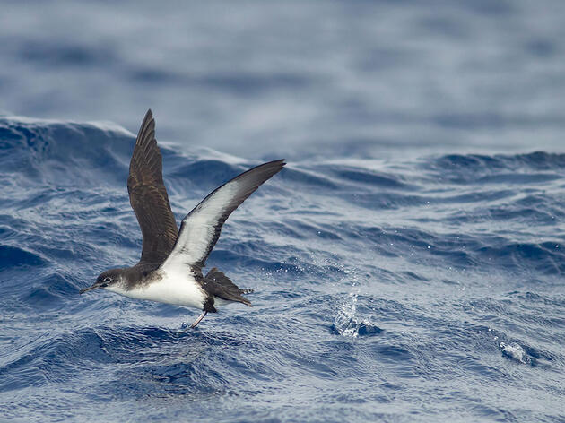 Lost at Sea, Hard-Flying Birds Can Be Mega Rarities and Mysteries
