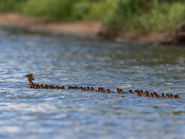 Here's Why This Mama Merganser Has More Than 50 Ducklings