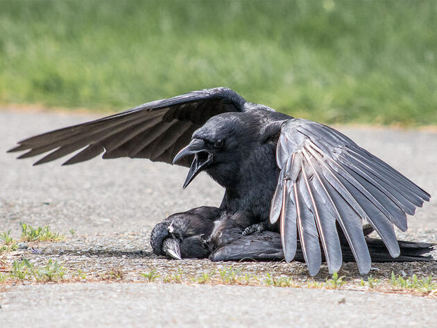 Think Crow Funerals Are Strange? Wait Until You See the Wake