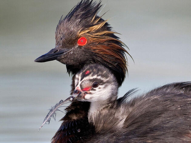 7 Baby Waterbirds to Make You Squeal