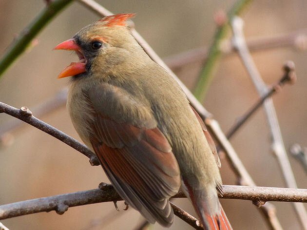 An Old, Feisty Female Cardinal Bit the Same Scientist Eight Years Straight