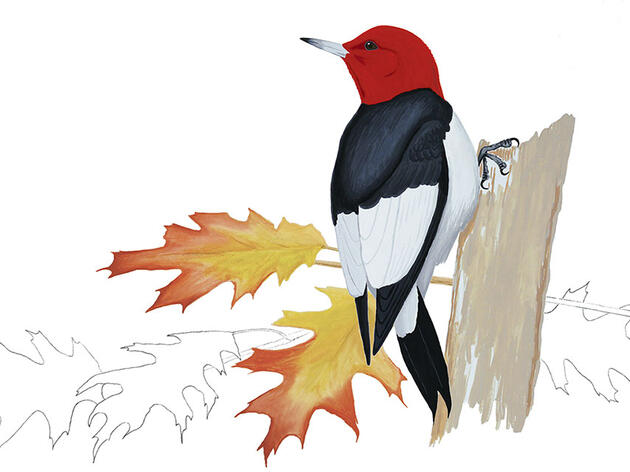 The Red-headed Woodpecker Doesn't Make Sense