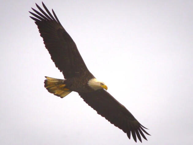 Watch Bald Eagles Feast on a Fish Free-for-All