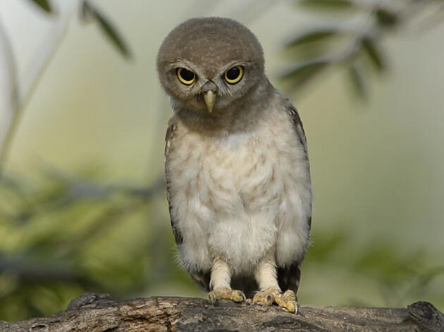 Why Do Owls Bob Their Heads?
