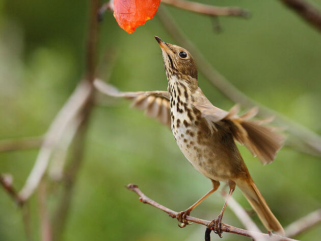 Learn the Sounds of Three Brown Thrushes