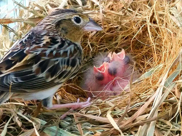 Say Hello to the First Florida Grasshopper Sparrows Born in Captivity