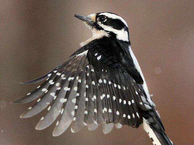 Why Downy Woodpeckers Are The Friendliest Woodpeckers