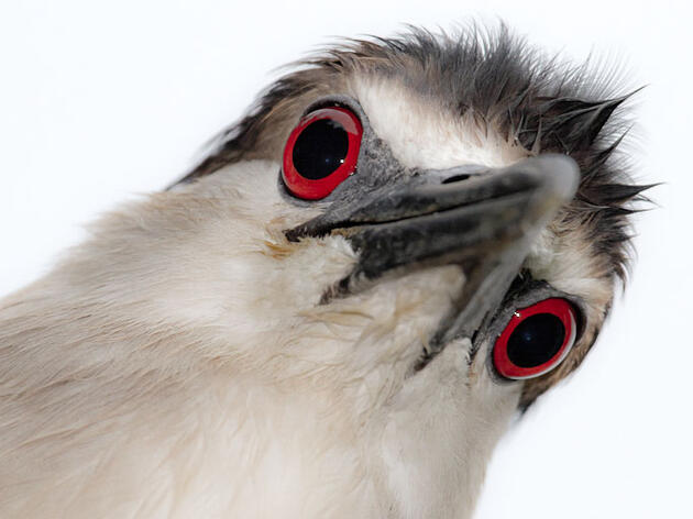 Why Do Birds' Eyes Change Colors?