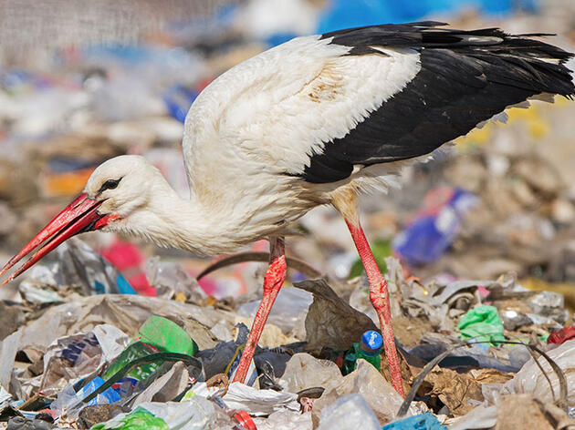 Storks Are Skipping Migration to Stay Home and Eat Garbage