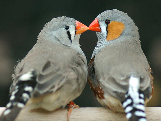Why Love Matters to a Zebra Finch