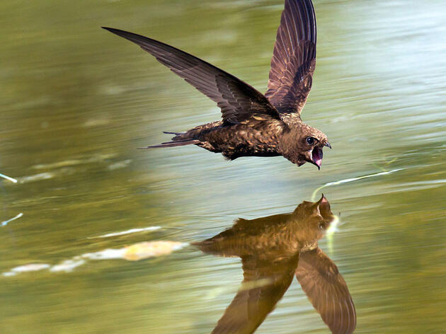 How Do Birds Drink on the Fly?