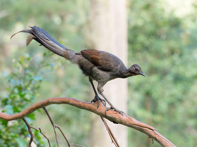 Lady Lyrebirds Have a Voice, Too