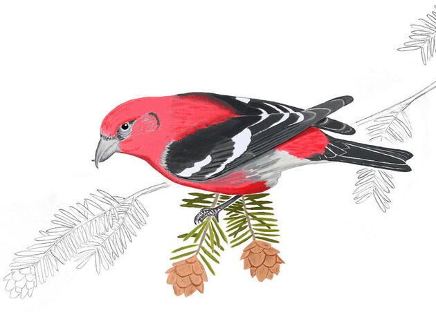 The White-winged Crossbill Is the Bird That Never Goes Home