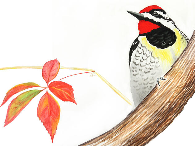 I Think My First Yellow-Bellied Sapsucker Was Tipsy