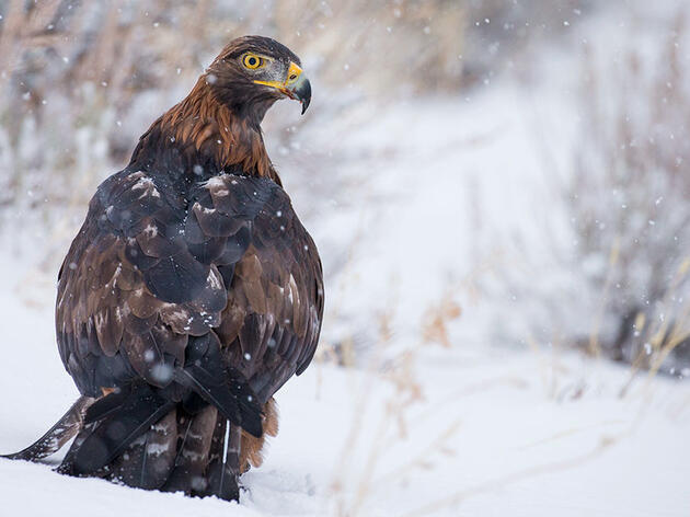 How (and How Not) to Photograph a Golden Eagle