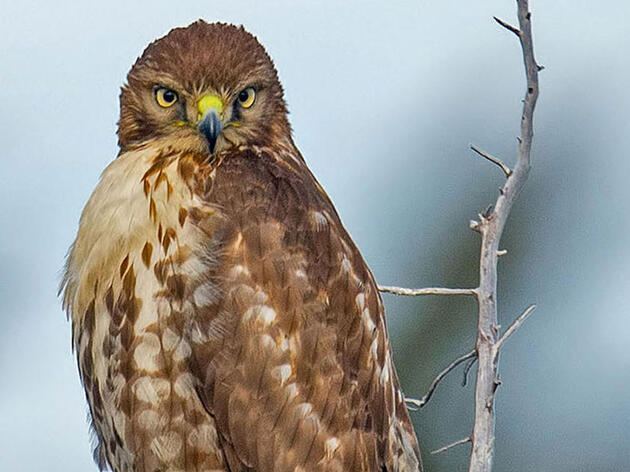 Six Quick Questions to Help You Identify Red-Tailed Hawks