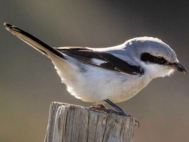 Learn to Tell a Northern Shrike From a Loggerhead Shrike