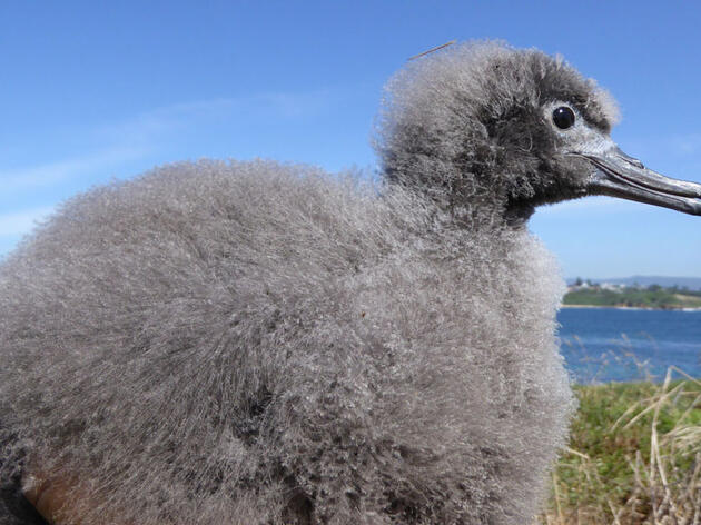 How Pulling Weeds Can Save Australia's Seabirds