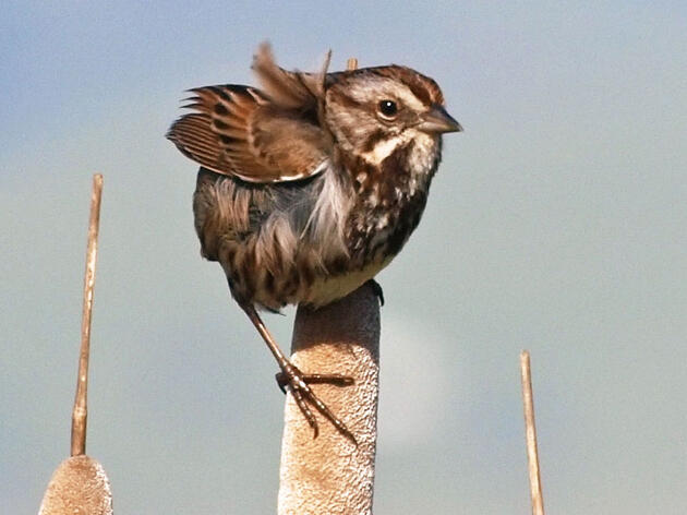Rule #23: Identify Your First Song Sparrow