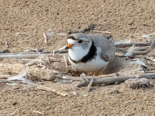 Piping Plovers Nest in Chicago for the First Time in Over Half a Century