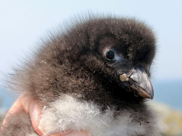Why Maine's Baby Puffins Are Growing So Slowly This Year