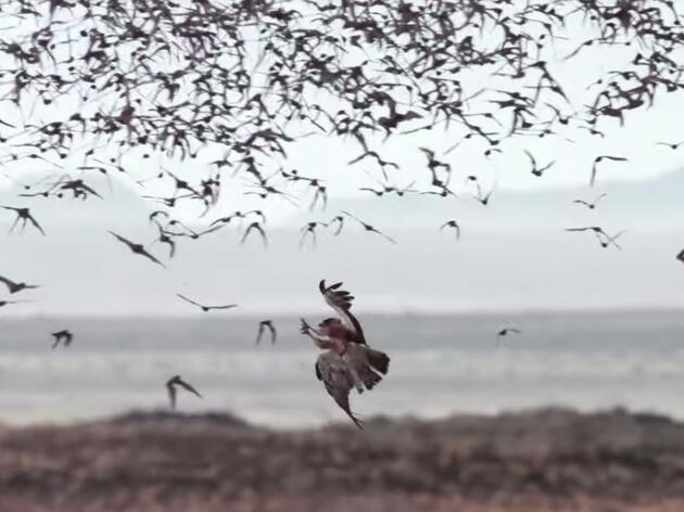 Watch These Desert Raptors Snack on a Massive Swarm of Bats