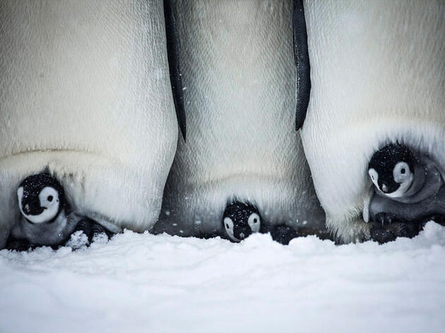 Watch a Cuddly Baby Penguin Struggle to Survive in its Chilly Home