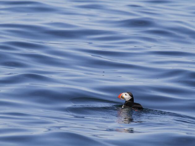 Audubon Scientists Uncover Winter Home of Maine Atlantic Puffins