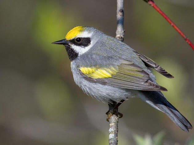 The Perfect Gift for Golden-winged Warblers