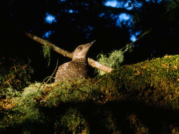 The Surprising Place Marbled Murrelets Nest—And How It Could Doom Them
