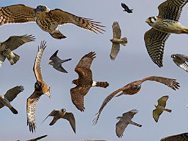 Identify Raptors in Flight