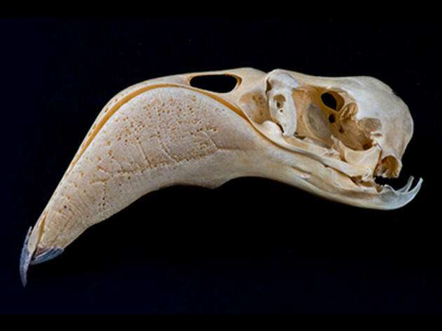 Skull-binding Bird Photos