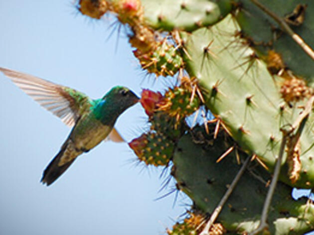 Hope for the Honduran Emerald Hummingbird