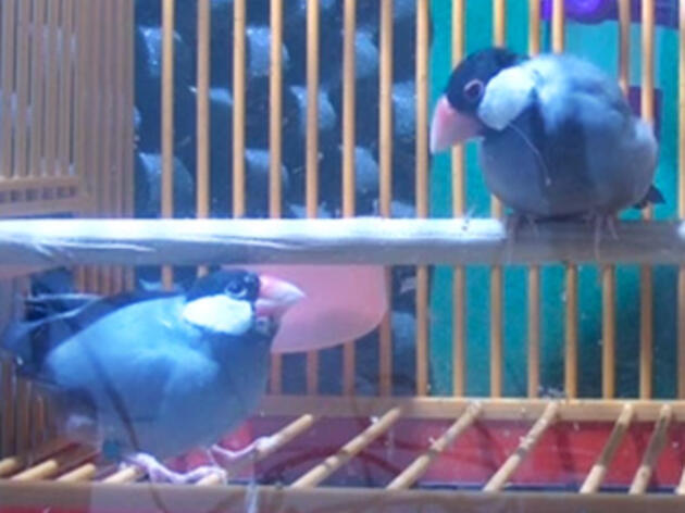 Java Sparrows Know How to Jam