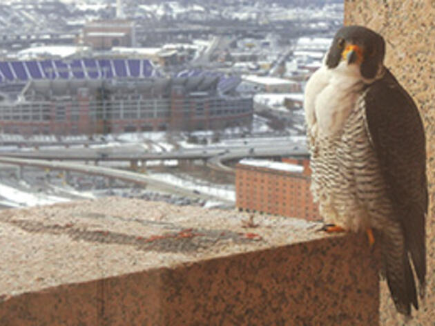 A Highrise for Peregrines